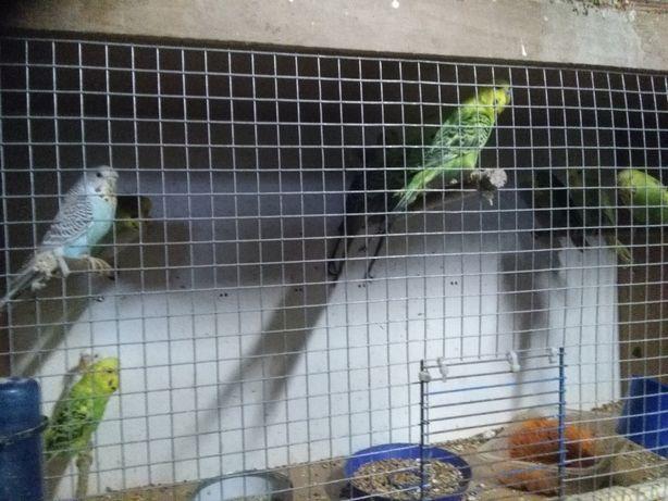 Papugi faliste młode