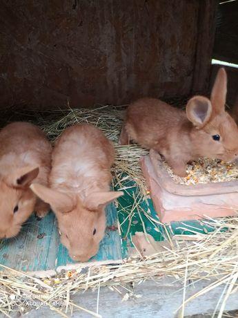 Продам кролі НЗЧ різного віку