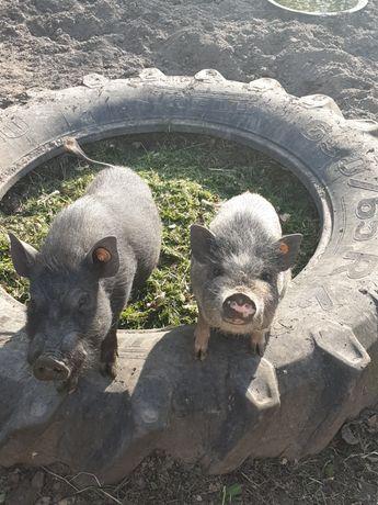Świnki   wietnamki  maciej i luiza