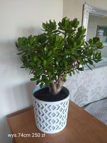Różne rośliny domowe grubosz, grudnia, sansewiera paproć