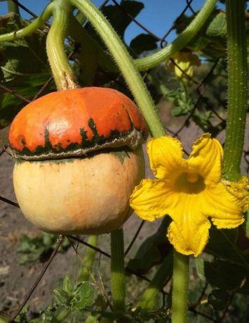 насіння гарбуза- грибочка
