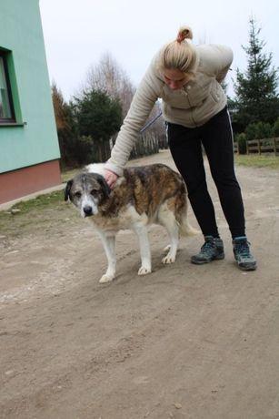 Duży, starszy pies. w schronisku w wojtyszkach aktualne