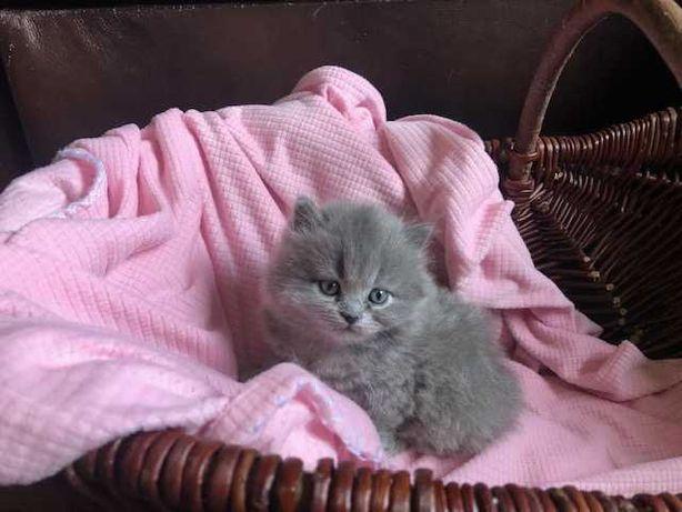 Kocięta Brytyjskie niebieskie