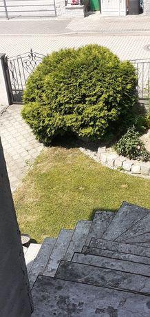 Krzew ozdobny pilne