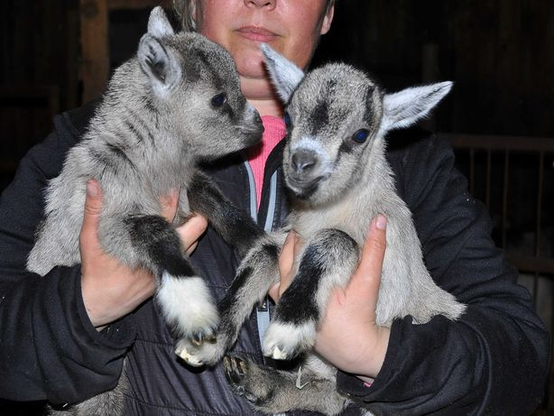 Kozy miniaturki kozły