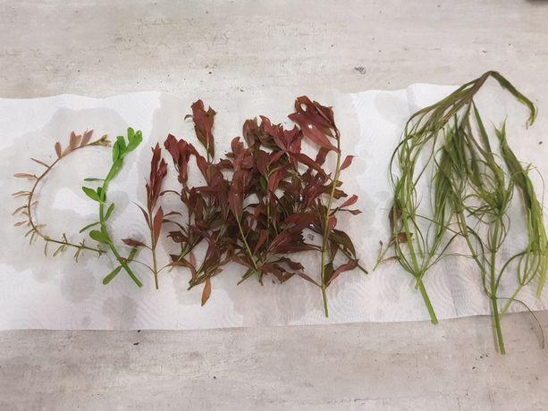 Rośliny z przycinki Rotala, Hedyotis, Ludwiga, Pogostemon