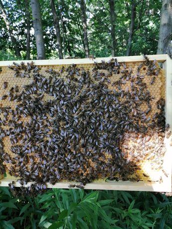 Matki pszczele, pszczoły, rodziny pszczele, odkłady