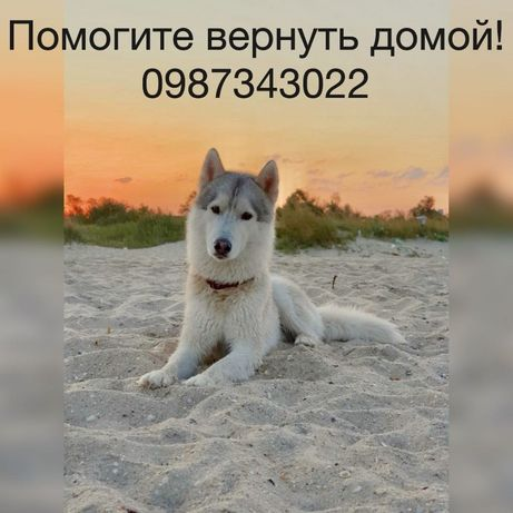 Хаски, лайка, маламут, потерялась собака.
