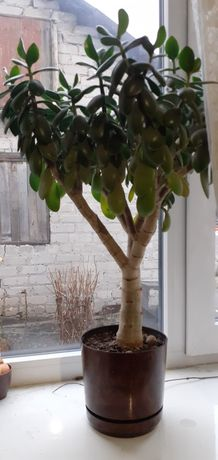 Денежное дерево 500р