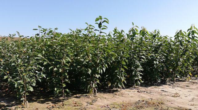 Drzewka owocowe, sadzonki wiśnia śliwka jabłoń czereśnia gruszka