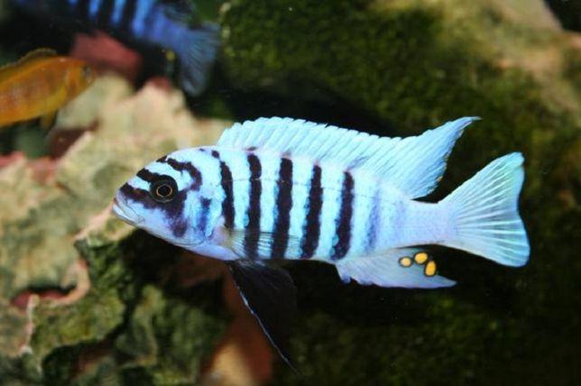 Metriaclima CHILUMBA MAISON Reef - F1 - MALAWI Śląsk