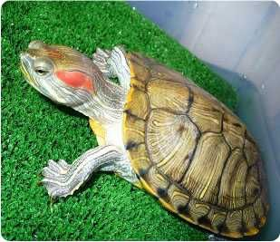 Пресноводная черепаха - прекрасный подарок любимым и близким!