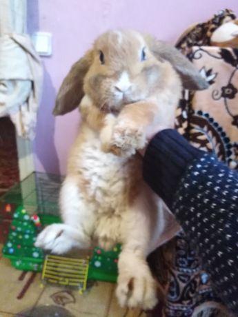 Кролик веслоухий декоративный, мальчик