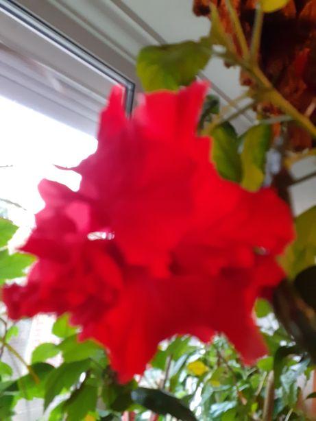 Большая китайская роза
