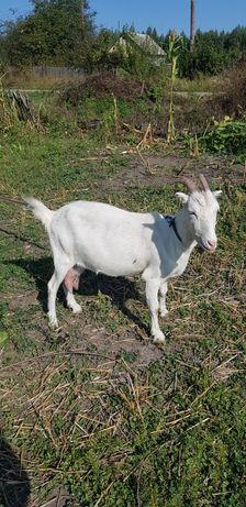 Козье молоко в Микуличах