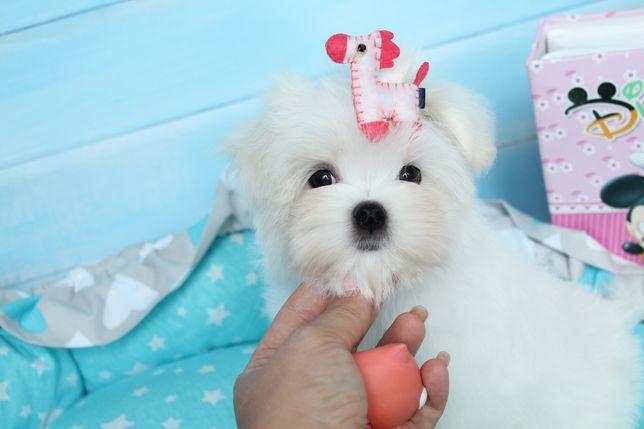 Очень кукольный щеночек мальтезе