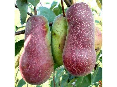 Саженцы плодовых деревьев от производителя. Яблоня, персик, груша т.д.