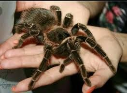 лошадиный паук птицеед павук тарантул lasiodora parahybana новичку