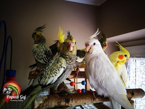 Papugi oswojone, recznie karmione nimfy