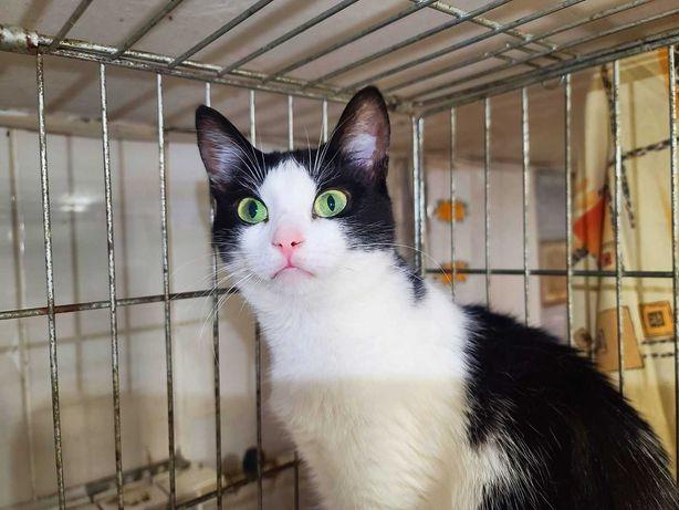 Чорно-біла вишукана красуня, кішечка Камалія, 1 рік
