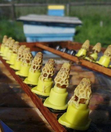 Карніка з інститута Маін- Німеччина,розплідник. Бджоломатки