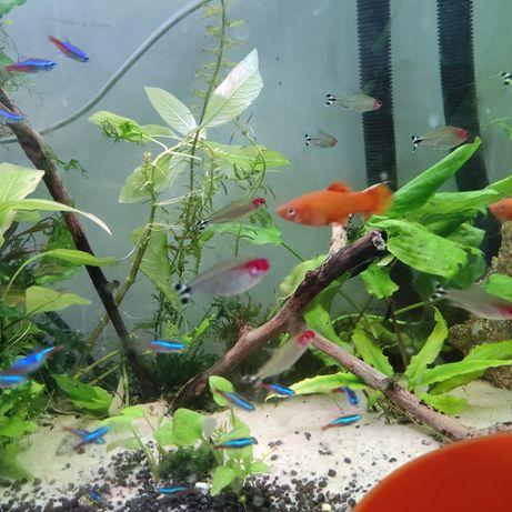 Płatka piękna rybcia