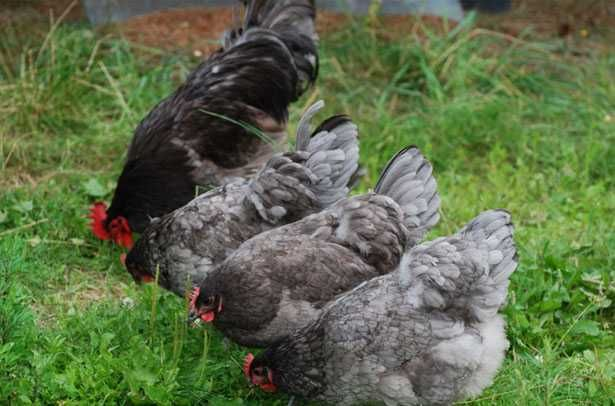 Jaja lęgowe Jersey Giant niebieski czarny  Perliczki kaczki piżmowe