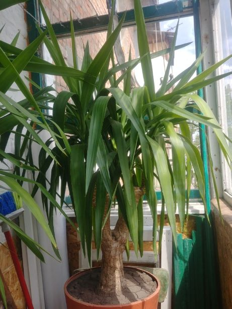 меняю большая Юкка, пальма, комнатное растение на мёд