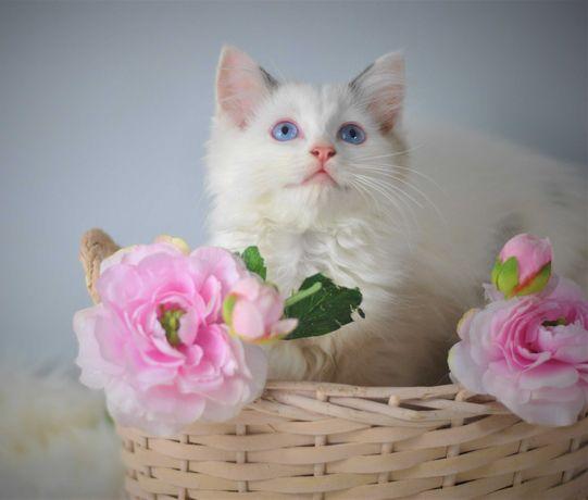 Śliczna koteczka Rag