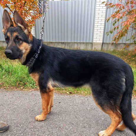 Супер охрана-подрощенный  щенок немецкой овчарки Интер Чемпиона