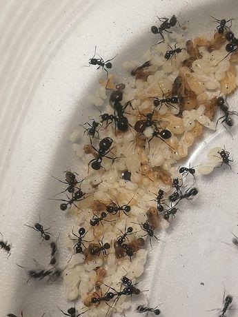 Poczwarki Messor barbarus (mrówki)