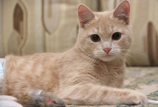Руся шукає дім. 5 років, кішка, киця, кішечка, кіт