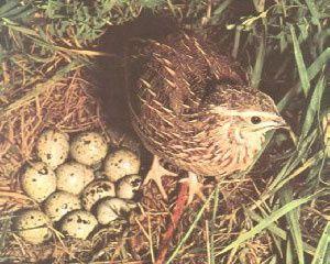 Jajka przepiórcze jaja