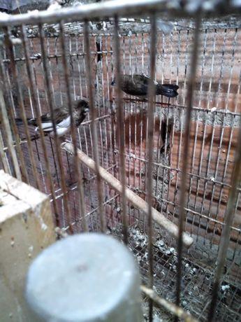 Várias aves para ceder