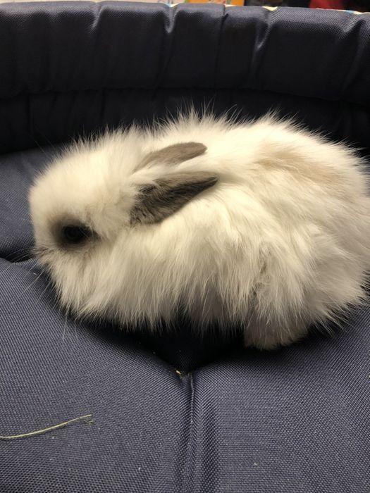 Królik karzełek teddy biały popielaty króliczek samica samiczka Chorzów - image 1