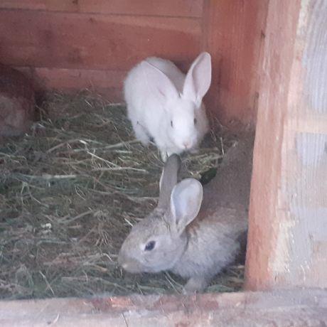 Małe króliki sprzedam