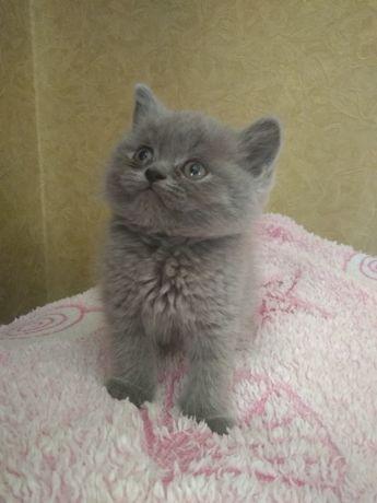 Продається,шотландське котеня