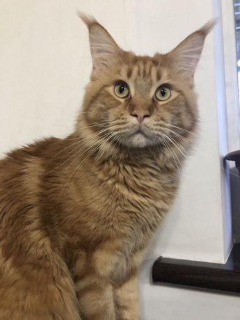 Кот Мейн-кун, 14 месяцев