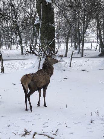 Jeleń, jelenie szlachetne, muflony, daniele, zwierzęta sprzedam