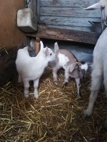 Kozy młode  koza