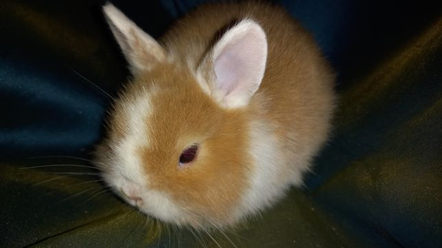 Мини карлик. Кролик