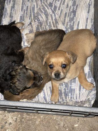 Cães de raça pequena