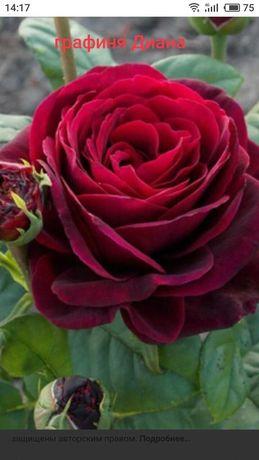Саженцы роз. Годовалые кусты