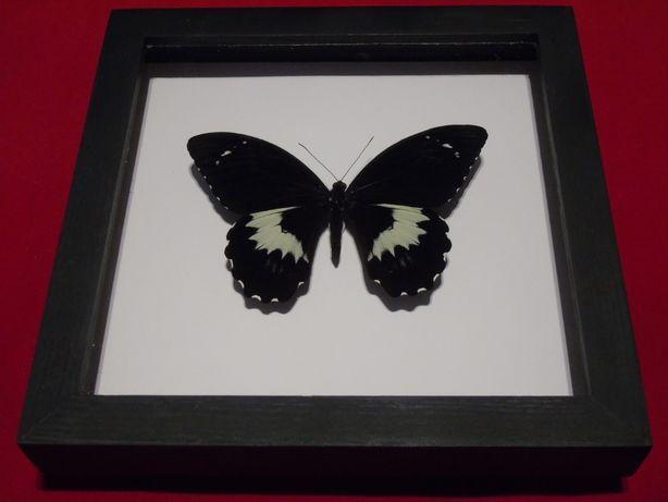 Motyl w ramce 26x26 cm Papilio gambrisius 160 mm .