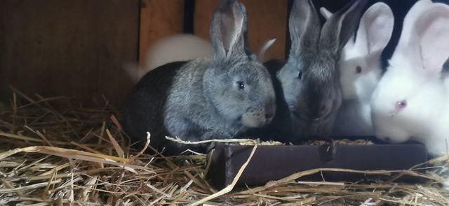 Króliki królik samice i samce