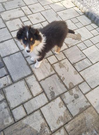 Pies owczarek szkocki z certyfikatem