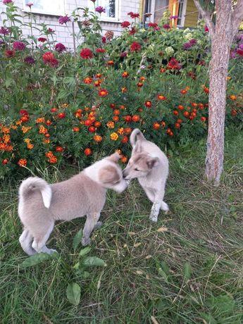 Продам щенков ЗСЛ от рабочих родителей