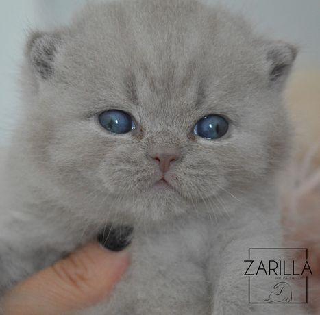 Kocięta brytyjskie, kot brytyjski, brytyjczyk, oryginalny rodowód FPL
