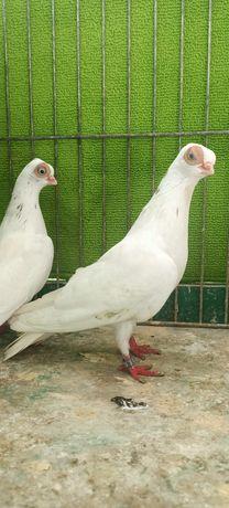 Masciuch, maściuchy- gołębie ozdobne