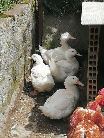 Patos brancos venda ou troca
